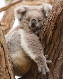 Resting koala. A female koala resting in a tree Royalty Free Stock Image