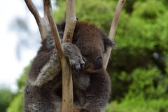Resting Koala Royalty Free Stock Photography