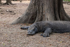 Resting Komodo dragon Stock Image