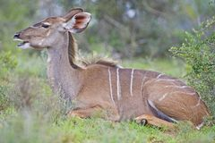 Resting Kudu Stock Photos