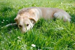 Resting labrador Stock Photos