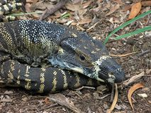 Resting Lace Goanna. (Varanus varius) or lace monitor Royalty Free Stock Photo