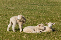Resting lambs Royalty Free Stock Photo