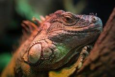 Leguan in terrarium stock photography