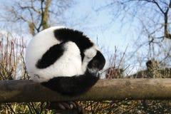 Resting Lemur royalty free stock photos