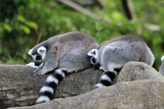 Resting lemur couple Royalty Free Stock Photography