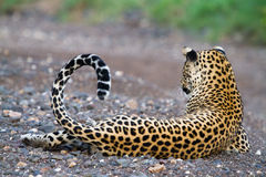 Resting leopard Royalty Free Stock Photos
