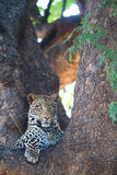 Resting leopard Stock Photography