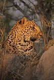 Resting Leopard Stock Photos
