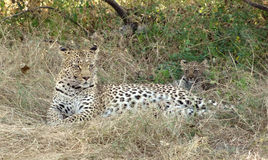 Resting leopard Royalty Free Stock Photo
