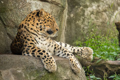 Resting Leopard. A leopard rests on a cliff side Royalty Free Stock Images
