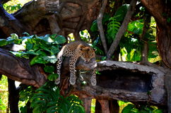 Hanging Leopard Stock Image