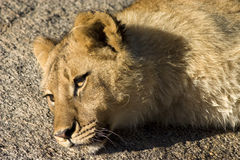Resting lion. Close up of a young lion resting on a rock Stock Photography