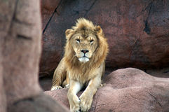 Resting Lion. A lion resting on the rock Stock Photo