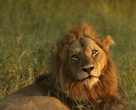Resting Lion. Lion resting photographed in the early morning light Stock Images
