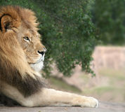 Resting Lion. A close shot of a lion resting Stock Photos