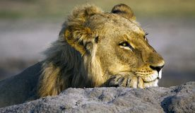 A Resting Lion Royalty Free Stock Photography