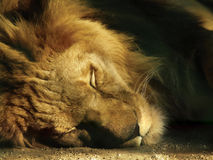 Resting lion. Close up of sleeping lion Royalty Free Stock Images