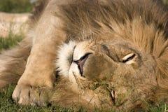 Resting lion. Lion resting in Masai Mara Kenya Royalty Free Stock Images