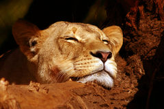 Resting lion Royalty Free Stock Photos