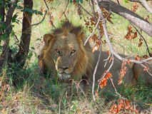 Resting lion in Botswana. A lion resting at the Savuti Marsh area in the Chobe National Park in Botswana, Africa Royalty Free Stock Photos