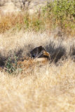 Resting Lion In The Bush. In the wilderness Royalty Free Stock Photo