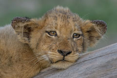 Resting. Lion cubs with warts on ears resting on tree trunk Royalty Free Stock Photography