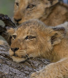 Resting. Lion cubs with warts on ears resting on tree trunk Stock Photo