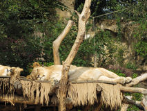 Resting lion female (lioness) with slightly open eyes Royalty Free Stock Images