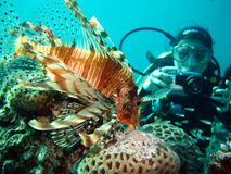 Resting Lion Fish. Still Predator on the Reef,female diver takes photograph royalty free stock photography
