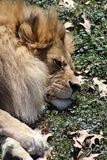 Resting lion. With grass and leaves in the background Stock Image