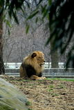Resting Lion. Lion resting on the ground, near large rocks and under the shade of a big tree Royalty Free Stock Image