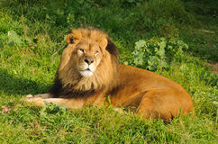 Resting lion. Lion resting after a meal Royalty Free Stock Photography
