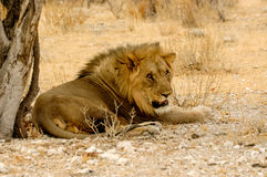 Resting Lion Royalty Free Stock Photography