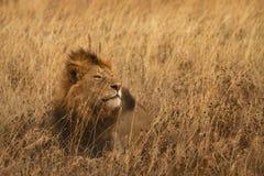 Resting lion Stock Photo
