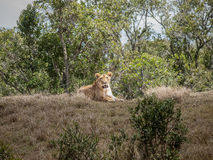 Resting  Lion Stock Image