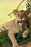 A resting lion. A relaxed female lion totally at ease Stock Image