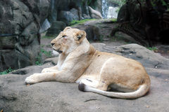 Resting Lion. A lion resting on a rock Royalty Free Stock Images