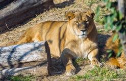 Resting lion at Safari World, Bangkok Thai. Land Royalty Free Stock Photo