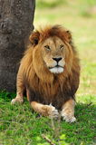 A resting lion Royalty Free Stock Photos