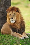 A resting lion Stock Photo