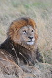 A resting lion Royalty Free Stock Image