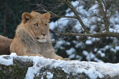 Resting Lion On Stone. Adult african lion resting on a large stone Stock Photography