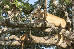 Resting Lion. On a tree close up Stock Photo