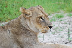 Resting Lioness. This Lioness is resting on the side of a small dirt road Royalty Free Stock Images
