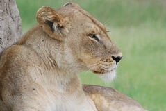Resting Lioness Royalty Free Stock Images