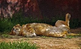 Resting Lioness. A lioness resting on her back Royalty Free Stock Photo