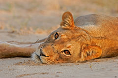 Resting lioness Stock Photos