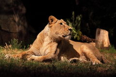 Resting lioness. A lioness (Panther Leo) lying is resting, looking around royalty free stock photography