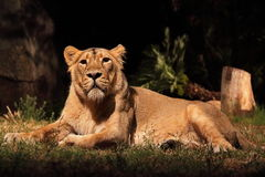 Resting lioness. A lioness (Panther Leo) lying is resting, looking around Royalty Free Stock Image